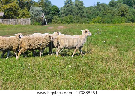 Flock of sheep on the green meadow