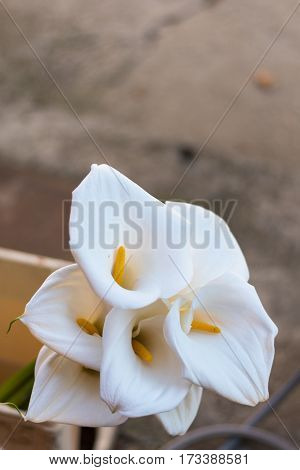 Bouquet Of White Calla Flowers Macro Nature
