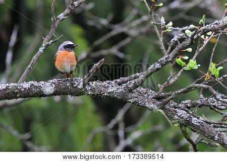 Photo of common redstart standing on a branch