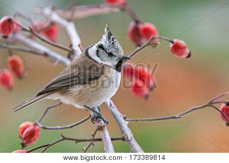 Crested tit perching on a dog rose twig