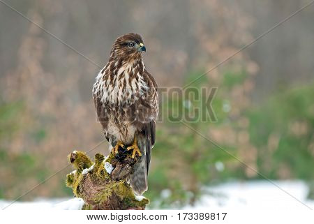 Common buzzard standing on a tree stump