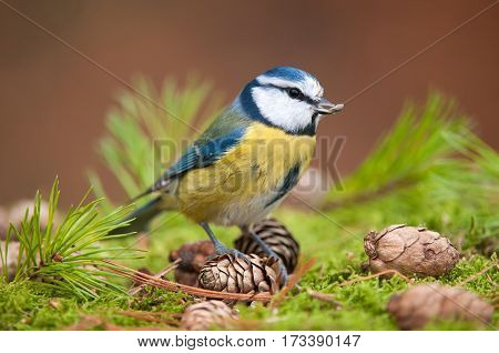 Photo of blue tit with seed in it's beak