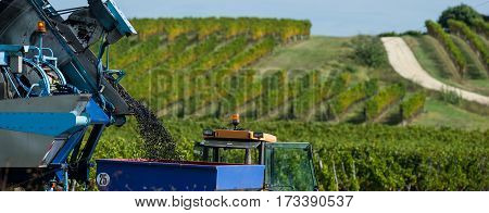 Mechanical harvesting of grapes in the vineyard, France