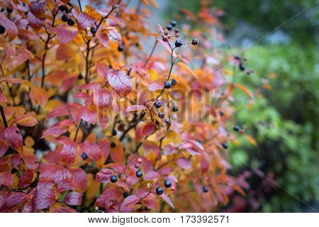 Red autumn leaves with black rowan berries