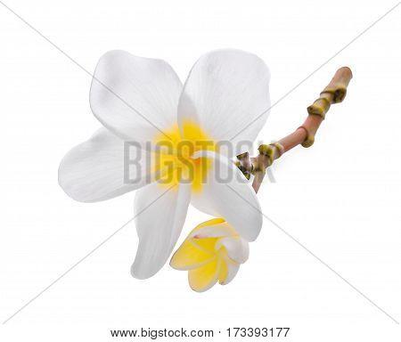 white frangipani (plumeria) flower isolated on white background