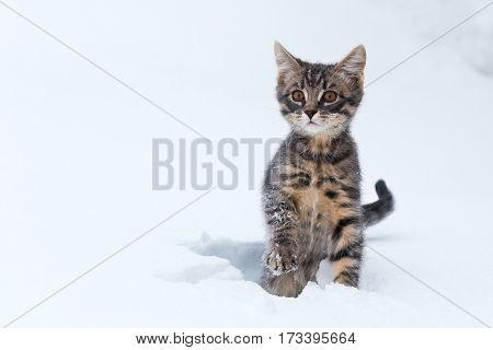 Cute kitten shivering raised paw frozen in the snow.