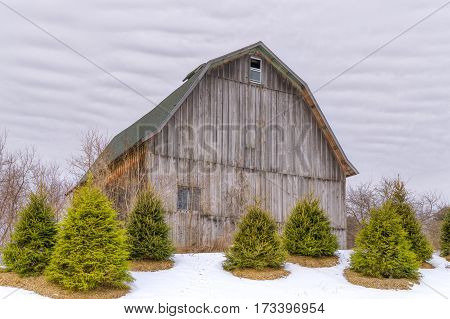 Weathered Barn In Winter With Gathering Of Foreground Pine