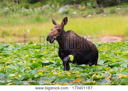 Shiras cow moose in the Rocky Mountains of Colorado.