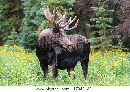 Shiras bull moose in the Rocky Mountains of Colorado.