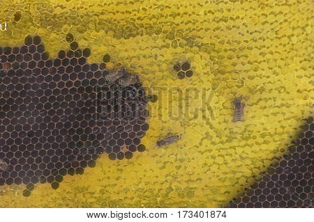 Close up of a bee colony on honeycomb in a bee farm. Selective focus Copy space.