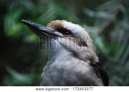 Kookaburra bird up close and personal in the wild.