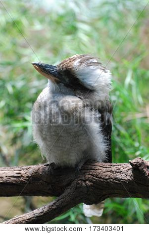 Kookaburra bird sitting on a perch on a tree branch.