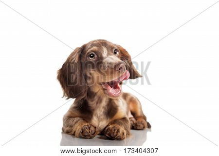 Small dachshund dog on a white background