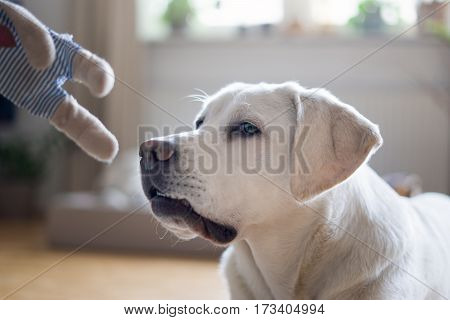young cute white curious labrador retriever dog puppy is about to play with a toy