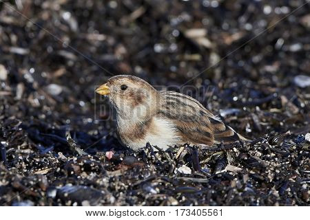 Snow bunting (Plectrophenax nivalis) looking for food in its habitat