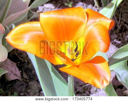 The orange tulip isolated spring in garden in Toronto Canada