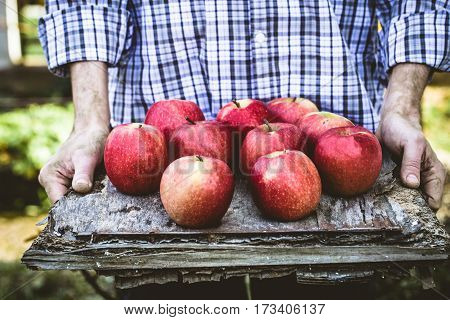 Organic fruit. Farmers hands with freshly harvested fruit. Fresh organic apples.