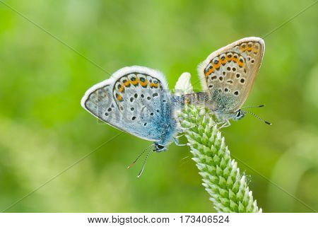 Coupling act in family of Common Blue (Polyommatus icarus) butterfly.