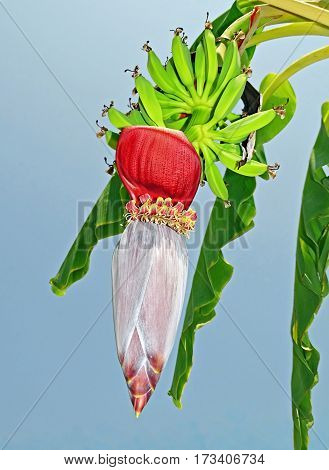 Bloom and fruits of  a banana tree
