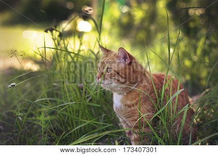 Red cat sitting on the grass and looking forward