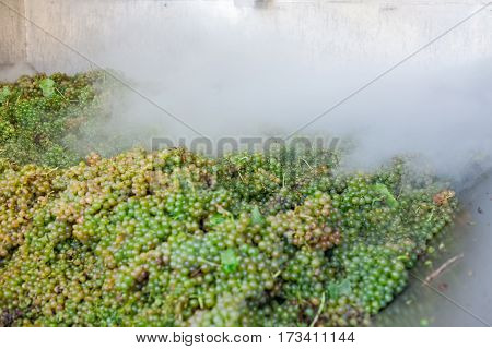 White grape bunches processed with nitrogen in a big stainless steel tub
