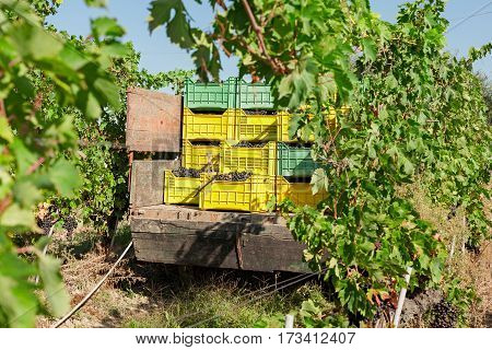 Bunches of grapes in crates loaded on truck in the vineyard during a sunny day
