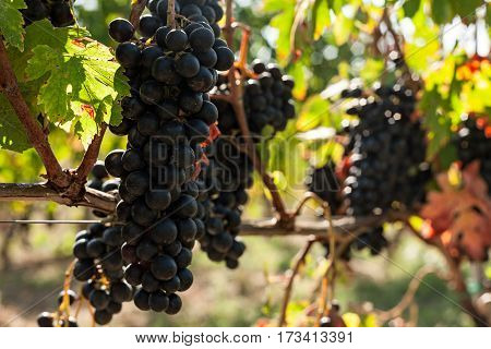 Closeup of bunches of red grapes in the vineyard in a sunny day