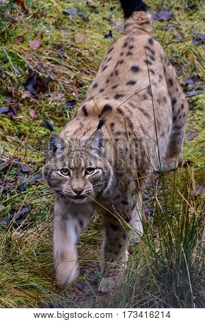 young lyng cat in Bavarian forest nature reserve in Germany