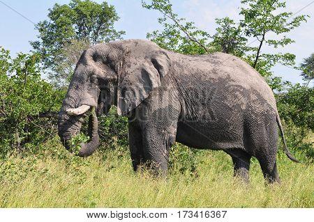 male elephant in Etosha nature reserve in Namibia