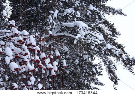Green branches of the pine and red berry snow covered.Fairy winter forest.