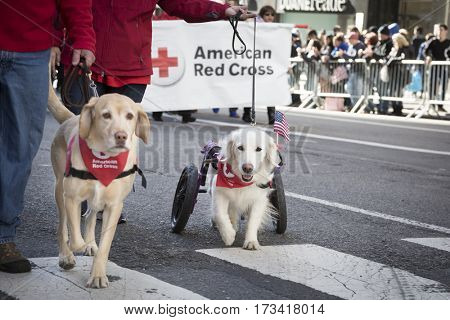 NEW YORK - 11 NOV 2016: A disabled American Red Cross service dog using a wheelchair walks in Americas Parade up 5th Avenue on Veterans Day in Manhattan.
