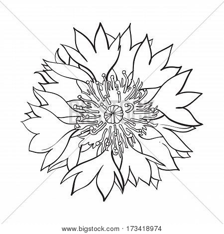Open black and white cornflower blossom, top view, sketch style vector illustration isolated on white background. Realistic top view hand drawing of wild, field cornflower