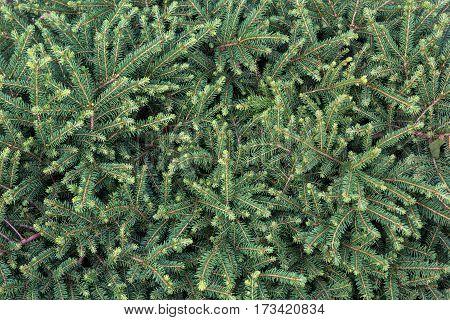 Dense Plex Of Fir Branches Close-up