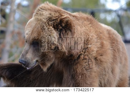 Huge grizzly bear on a rainy spring morning in the Rockies