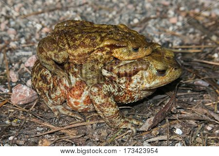 Funny animals: couple of the common toad, Bufo bufo. A male animal in amplexus on the female