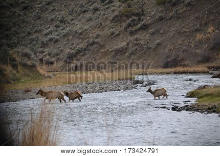 Wild elk crossing a river at sunset in Yellowstone National Park, Wyoming
