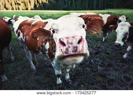 Wide angle view of cute little cow staring into the camera