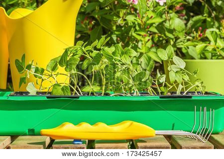 Container with the seedlings of morning glory flowers watering-can and mini-ripper on a wooden table in spring garden