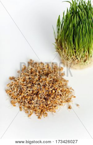 young green wheat sprouts in a glass container isolated on a white background