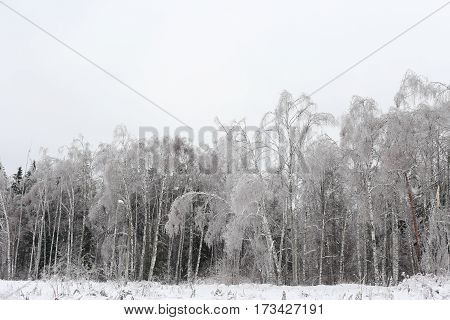 Winter landscape. The forest of birches and pine needles in the frost.