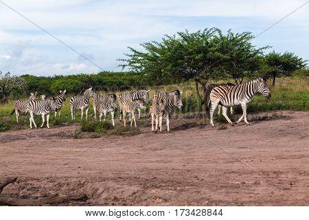 Zebras Calf's animals leaving waterhole in wildlife safari park