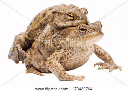 Mating couple of the common toad, Bufo bufo. Pair of animal in amplexus on a white background.