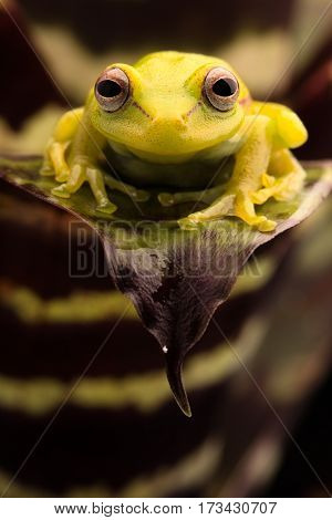 Polka dot tree frog, Hypsiboas punctatus. Animal from the tropical Amazon rain forest. A beautiful curious yellow treefrog.