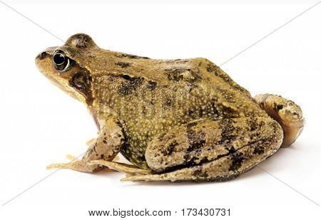 Common grass frog, Rana temporaria. Animal isolated on white background.