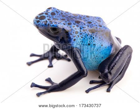Dendrobates azureus isolated on white. A blue poisonous poison dart frog from the Amazon rain forest in Suriname.
