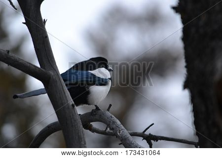 Black-billed magpie wandering around on a cloudy spring morning