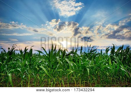 Green Corn Field,blue Sky And Sun On Summer Day.