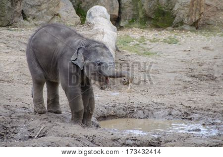 Cute baby elephants drinking from near puddle