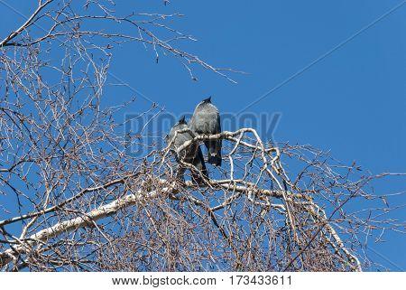 Jackdaw birds watching the sun in winter