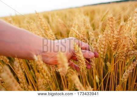Wheat Ears In The Man's Hand. Field On Sunset Harvest Concept.